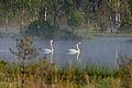 Laululuiged Orkjärve looduskaitsealal.jpg