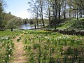 Laurel Ridge Foundation Narcissus Plantings - IMG 6396.JPG
