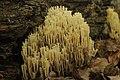 Lausanne 03.08.2017 Crown Coral - Artomyces pyxidatus (37069026422).jpg