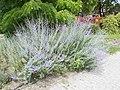Lavender, Kisfaludy Street Park, 2020 Göd.jpg