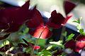 Leaves, Oxalis(silhouette) - Flickr - nekonomania.jpg