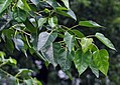 Leaves I IMG 9786.jpg