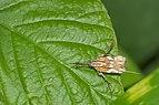 Lecithoceridae in Kadavoor.jpg
