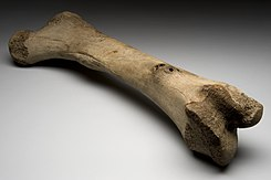 Left femur of extinct elephant, Alaska, Ice Age Wellcome L0057714.jpg