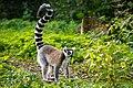 Lemur (37170600121).jpg