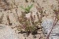 Lepidium densiflorum plant (10).jpg