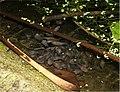Leptodactylus insularum02.jpg