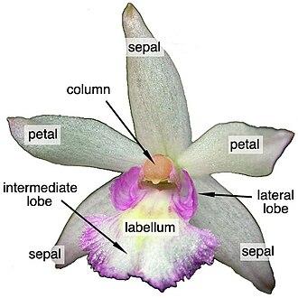 Leptotes (plant) - Floral diagram for Leptotes.