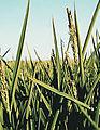 Les Plantes Cultivades. Cereals. Imatge 99.jpg