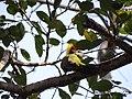 Lesser Yellownape - Picus chlorolophus - DSC01205.jpg