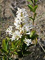 Ligustrum vulgare. Sanxuanín (flores).jpg
