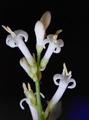 Ligustrum vulgare - Image: Ligustrum vulgare fleurs 0a