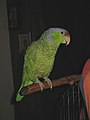 Lilac-crowned Amazon pet on a perch.jpg
