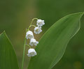 Lily of the valley (3604196572).jpg