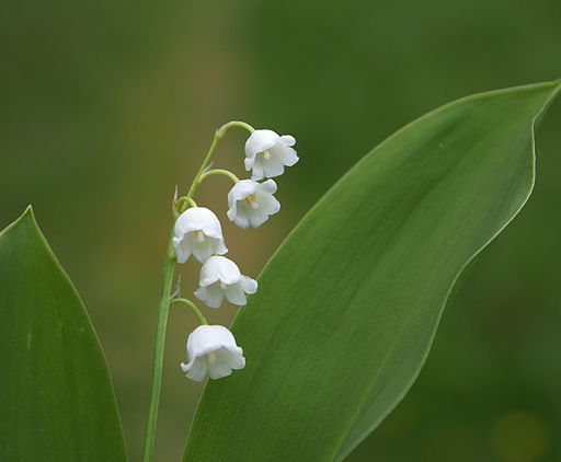 Lily of the valley (3604196572)