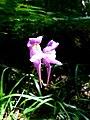 Linaria triornithophora 001.JPG