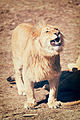 Lion Making Funny Face (17386264178).jpg