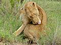 Lioness (Panthera leo) (12025637675).jpg
