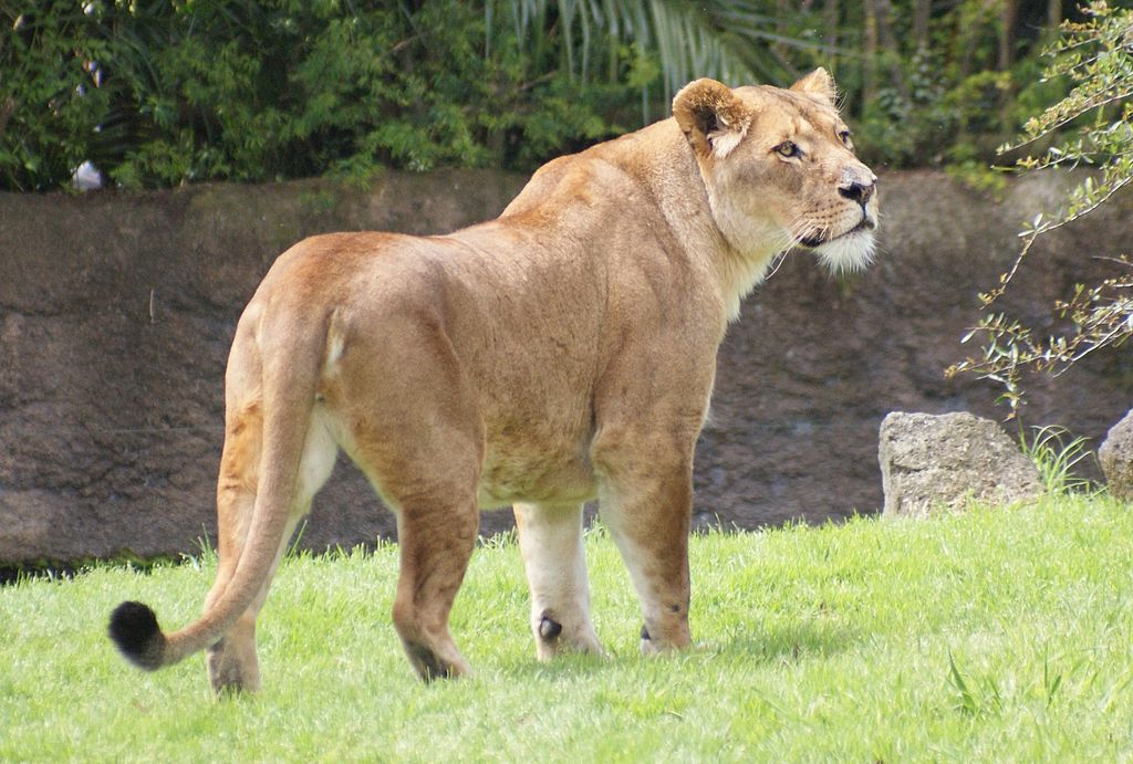 File:Lioness at Auckland Zoo - Flickr - 111 Emergency.jpg ...