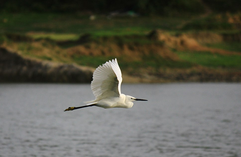 Little Egret flying with neck retracted