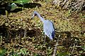 Little blue heron, Everglades National Park - panoramio.jpg