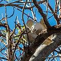 Little corella at Boulia Wildlife Haven Herbert St Boulia Queensland P1030430.jpg