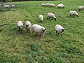 Llanwenog and Shropshire sheep - geograph.org.uk - 602713.jpg