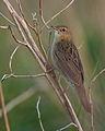 Locustella naevia vogelartinfo chris romeiks R7F3264.jpg