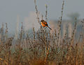 Long-tailed Shrike (Lanius schach) near Hyderabad W IMG 4813.jpg