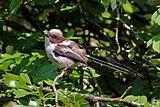 Long-tailed tit (Aegithalos caudatus) juvenile 2.jpg