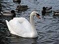 Lost lagoon's swan , Vancouver Canada - panoramio.jpg