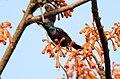 Loten's Sunbird Cinnyris lotenius Male DSCN0107 (15).jpg