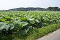 Lotus field in Namegata, Ibaraki 06.jpg