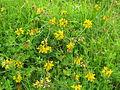 Lotus uliginosus habit1 (10356042926).jpg