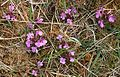 Lousewort (Pedicularis sylvatica) - geograph.org.uk - 823422.jpg
