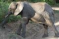 Loxodonta africana -Lake Manyara National Park, Tanzania-8.jpg