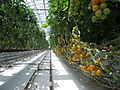 Lufa Farms Yellow Cocktail Tomato Row.jpg