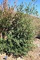 Luma apiculata - Leaning Pine Arboretum - DSC05598.JPG