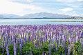 Lupinus sp. at Lake Tekapo, New Zealand 01.jpg