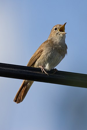 Common nightingale - Image: Luscinia megarhynchos 01