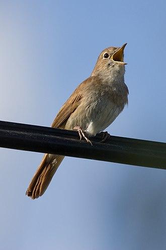 Common nightingale - Image: Luscinia megarhynchos 01