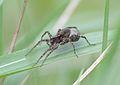 Lycosidae Kokon.jpg