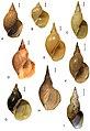 Lymnaea stagnalis (10.3897-zse.91.4509) Figure 4.jpg