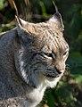 Lynx 2 (8489714266).jpg