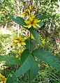 Lysimachia vulgaris20090812 060.jpg