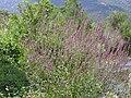 Lythrum salicaria var. tomentosum Habitat 2010-8-15 RioMontoro SierraMadrona.jpg