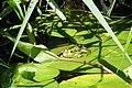 Mój ogród - moja żaba (My garden - my frog) - panoramio - StachBpl.jpg