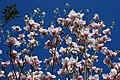 Magnolia-Spring.jpg