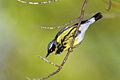 Magnolia-warbler-1.jpg