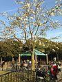 Magnolia kobus in Ohori Park.jpg